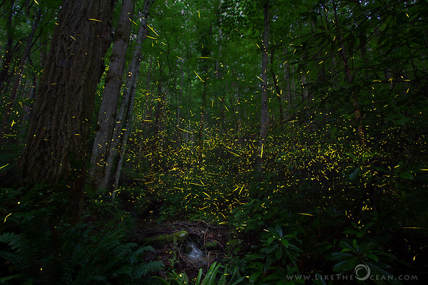 Synchronous Fireflies of Smokies