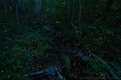 Symphony of Light–Synchronous Fireflies @ Smokies