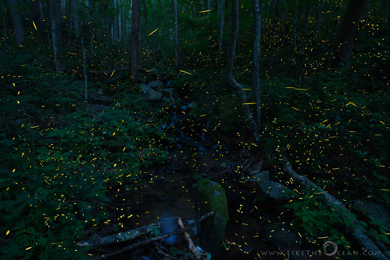 Symphony of Light–Synchronous Fireflies @ Smokies