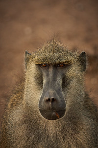 Serious baboon