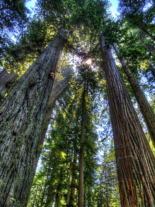 Lady Bird Johnson Grove, Redwood National Park, California