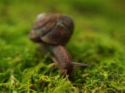 Snail on the Dosewallips Trail