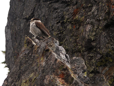 Camp Robber (Grey Jay) at Pineapple Pass in the Cascades