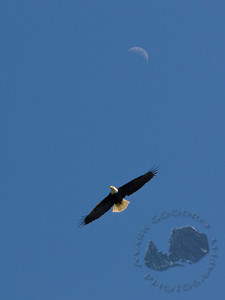 Bald Eagle over the Hood Canal