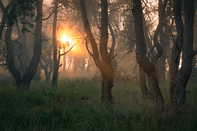 Sunrise in the pine forest