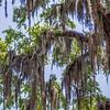 Savannah Georgia  oak tree lined streets