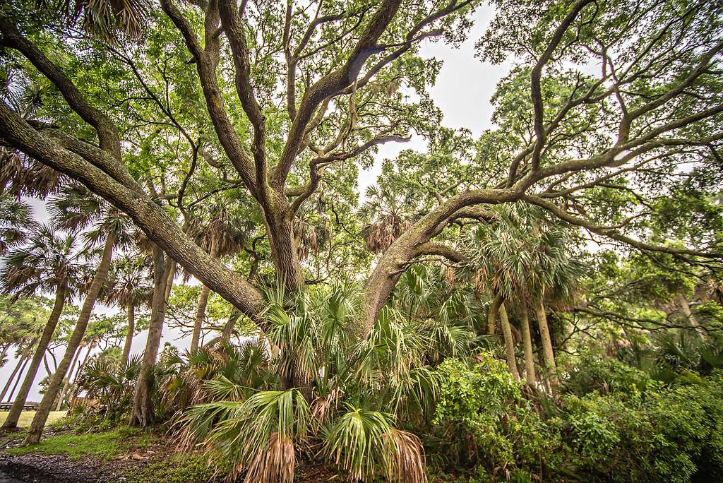 giant oak tree on hunting island south carolina