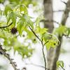 Sweetgum tree branch ( Liquidambar styraciflua)