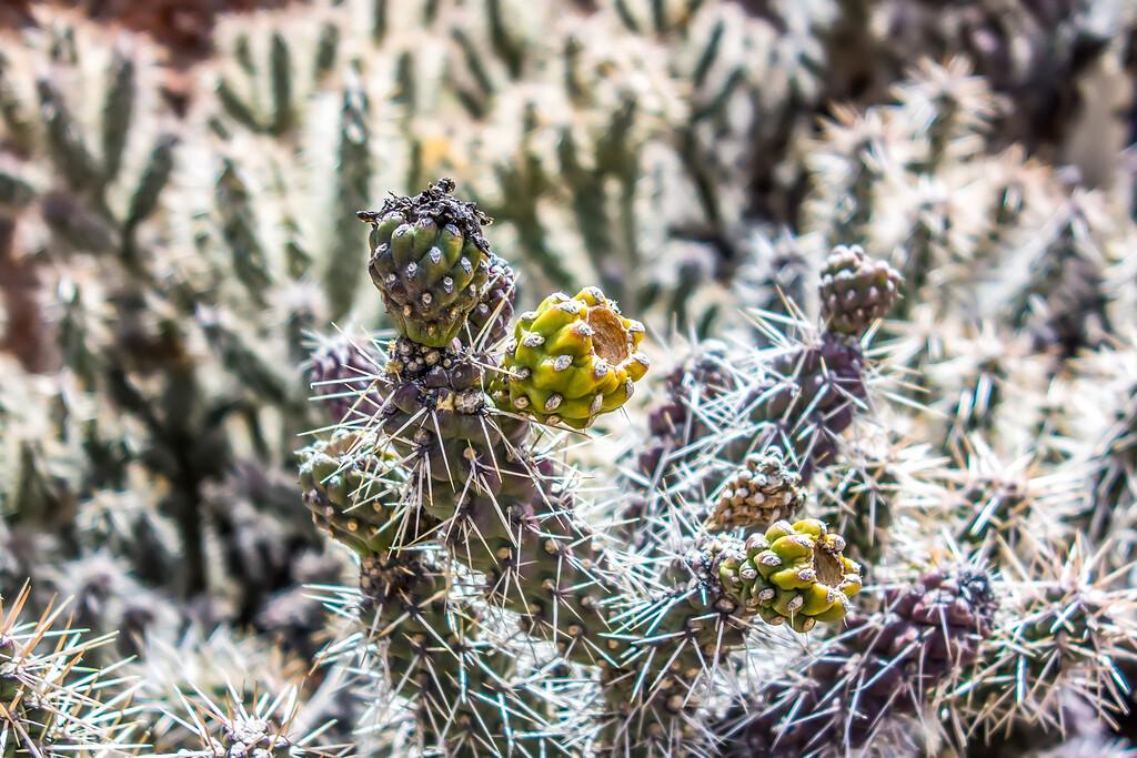 many stems of poky small cactus in desert