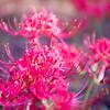 Red spider lily lycoris radiata cluster amaryllis higanbana flowera
