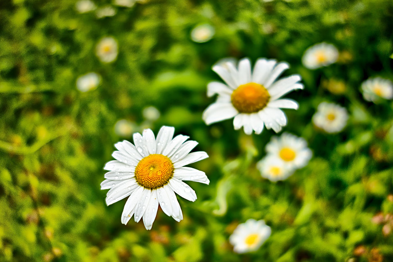 white Daisies White flowers meadow in the mountains