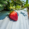 at Strawberry plantation on a sunny day