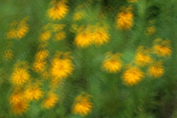 Brown-Eyed Susan blur