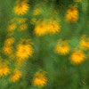 Brown-Eyed Susan blur
