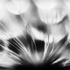 Goat's Beard Abstract Extreme