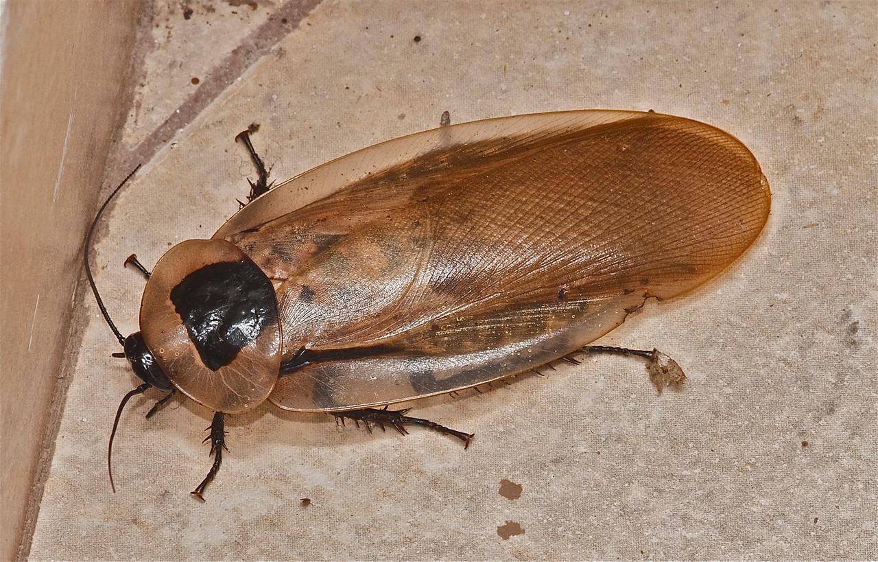Cockroach (exact species yet tbi)