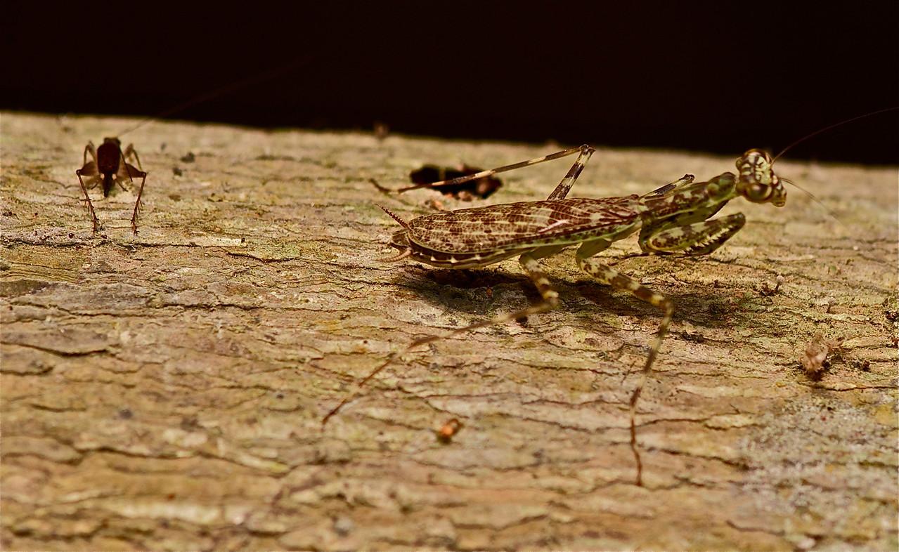Lichen Mantid (Liturgusa sp.) with grasshopper in background