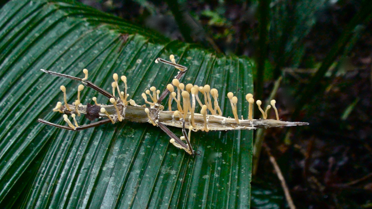 Walking Stick Insect that has been attacked by fungi