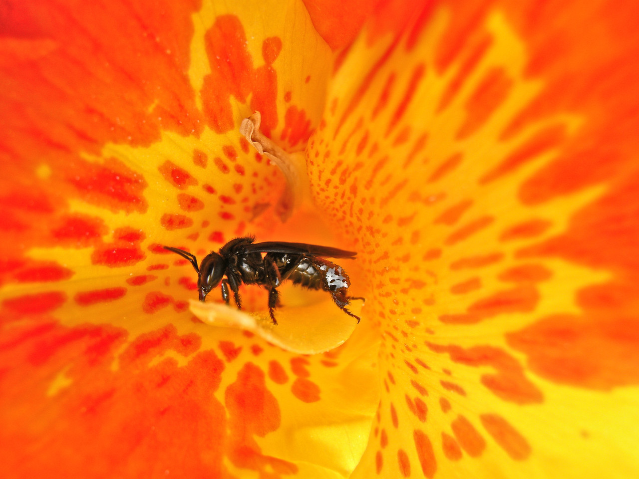 Stingless Bee inside flower