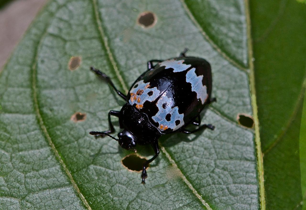 Pleasing Fungus Beetle (family Erotylidae)