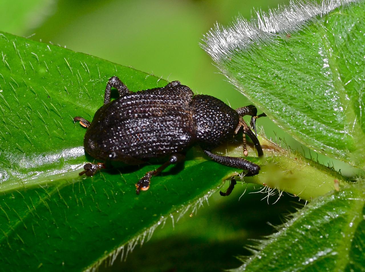 Weevil, exact species unknown