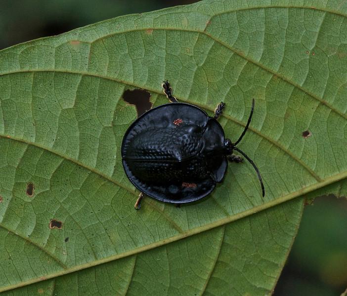 Tortoiseshell Beetle with eggs :)