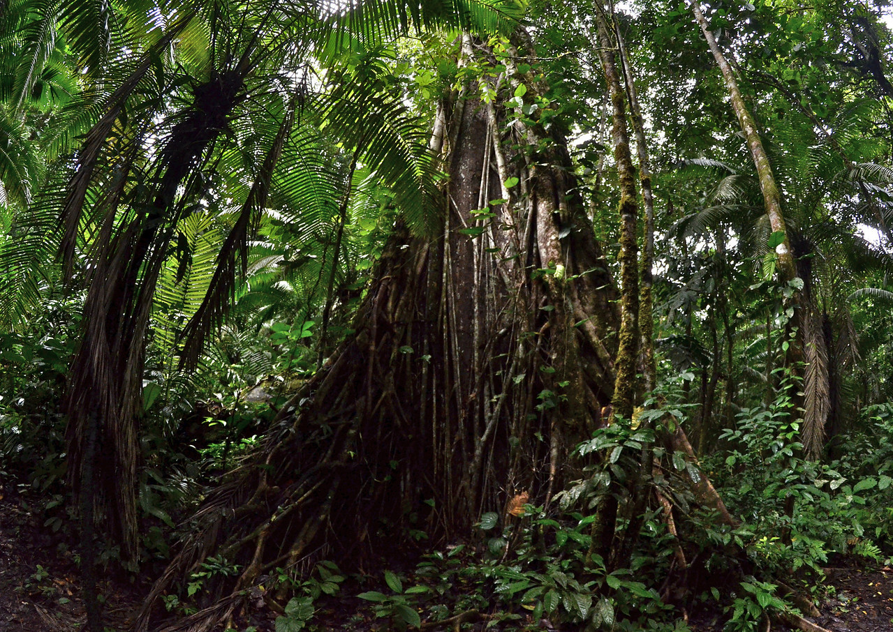Jungle Tree covered in vines, which may or may not destroy the tree by strangulation or pulling it down in their bid for light at the top of the forest canopy