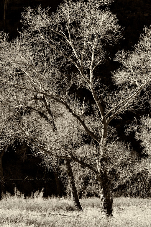 Cottonwood Glow - Winter, Zion National Park, Utah