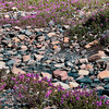 Wildflowers, Athabasca Glacier