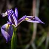 Wild iris, Corkscrew Swamp Sanctuary