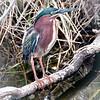 Green heron, Shark Valley, Everglades National Park