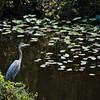 Great blue heron, Shark Valley, Everglades