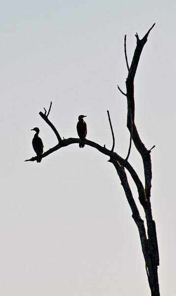 Double crested cormorants, 10,000 Islands, Florida
