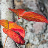 """I saw these beautiful, intensely saturated leaves in the woods near the Split Rock River. With my camera mounted on a tripod, I carefully removed some extraneous stuff (""""gardening"""" in photographer lingo), snapped a lot of pictures, and came up with this--my favorite of all my images on that North Shore excursion."""