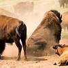 Buffalo on a ranch near Luverne, Minnesota