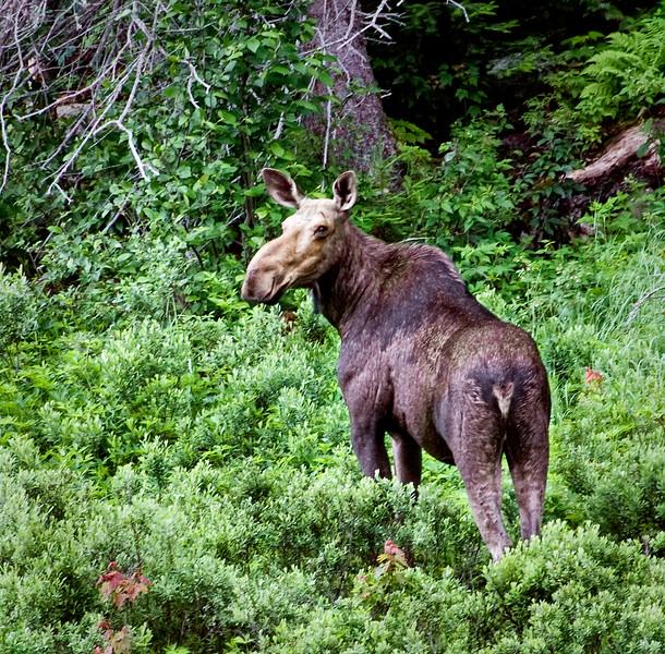Moose near Katherine Cove, Ontario