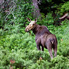 Moose near Katherine Cove, Ontario