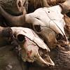 Buffalo ranch, skulls