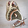 Minnesota Forestry Center, Cloquet, MN, cecropia moth