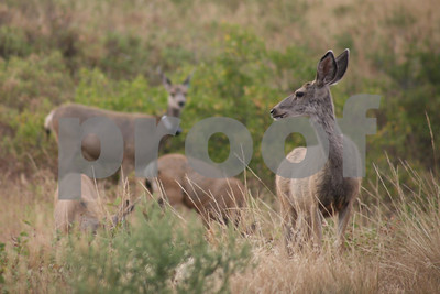 Mule deer, Wind Cave National Park, SD