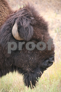 Bison, Wind Cave National Park, SD