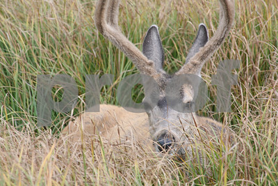 White-tailed deer, Yellowstone National Park