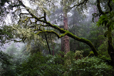 Moss-Covered Redwoods, Marin County, California