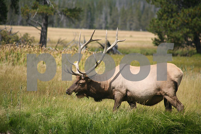 Elk, Yellowstone National Park, WY