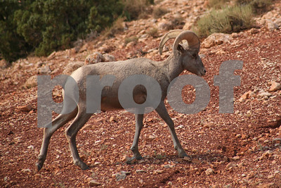 Bighorn Sheep, Bighorn Canyon National Recreation Area, MT