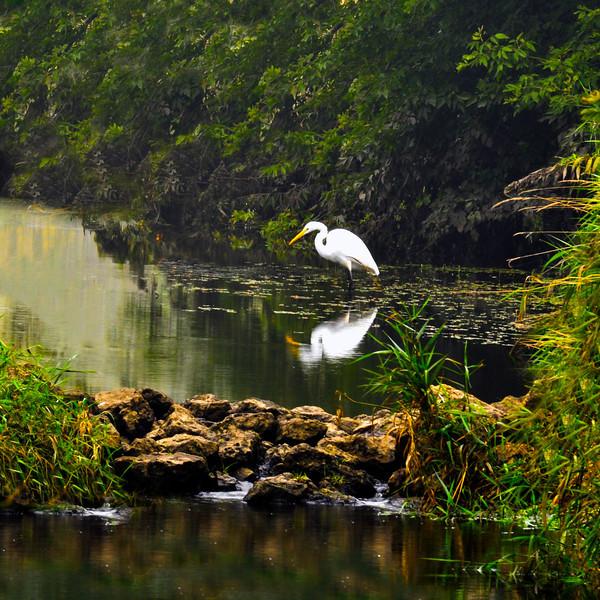 Japanese Egret