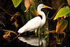 Egret, Corkscrew Swamp, Florida