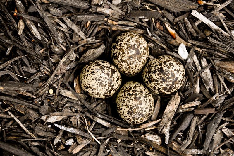 Killdeer eggs, Brownsburg, Indiana
