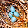 Robin eggs, nest, Del Webb, Huntley, Illinois