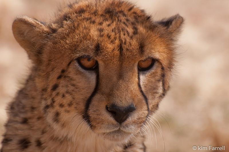 Juvenile cheetah.  Cheetah Conservation Foundation, Namibia.
